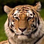 Любовь тигрицы. Рассказ для взрослых.