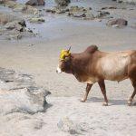 Корова – национальное животное-символ Индии. Или нет?