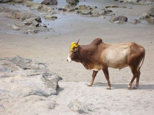 Bull-Goa