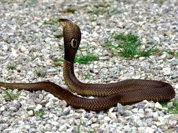 Snake-cobra