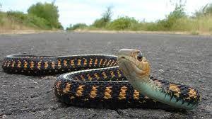 Snake-on-road