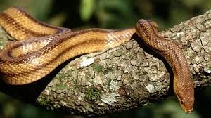 Snake-tree