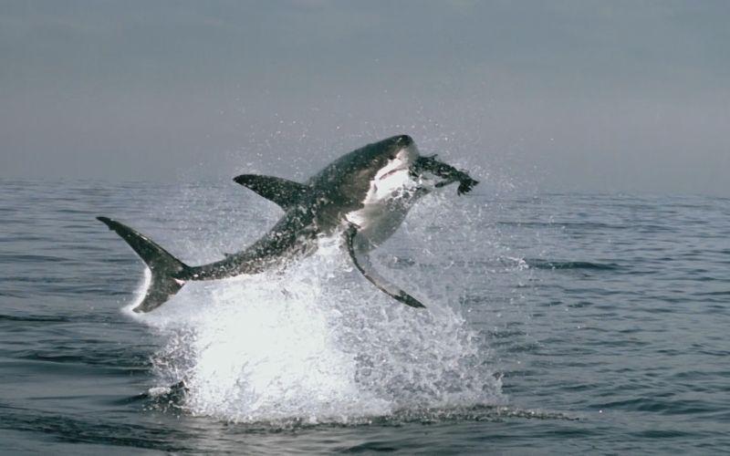 http://www.vostokolyub.ru/wp-content/uploads/2013/04/White-Shark.jpg