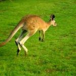 Пять наиболее распространенных заблуждений о кенгуру.
