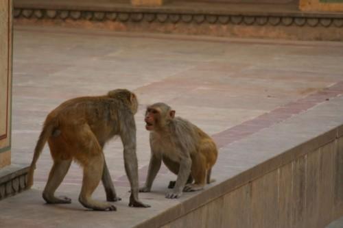 Monkey_Suriya_Temple
