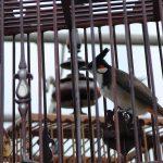 Соревнования певчих птиц в Таиланде