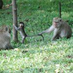 Лучшие обезьяньи места Пхукета