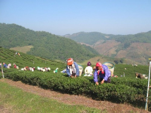 Tea_Plantation_Akha