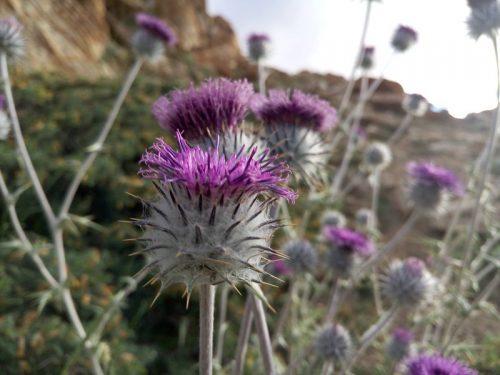 Flowers-Himalaya