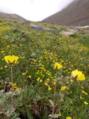 Flowers-Himalaya22