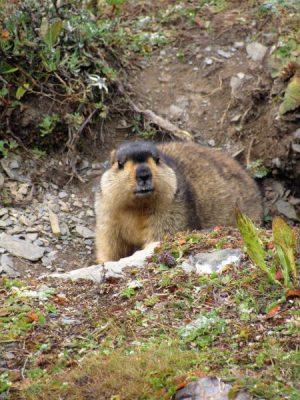 Himalayan_Marmot