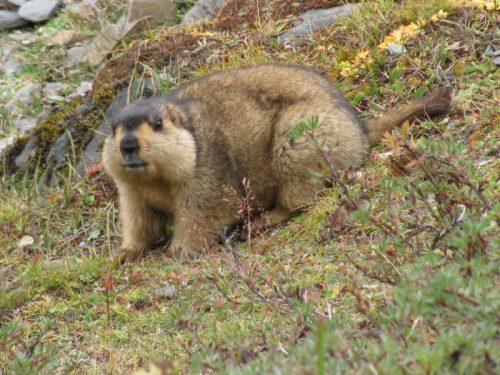 Himalayan_Marmot33